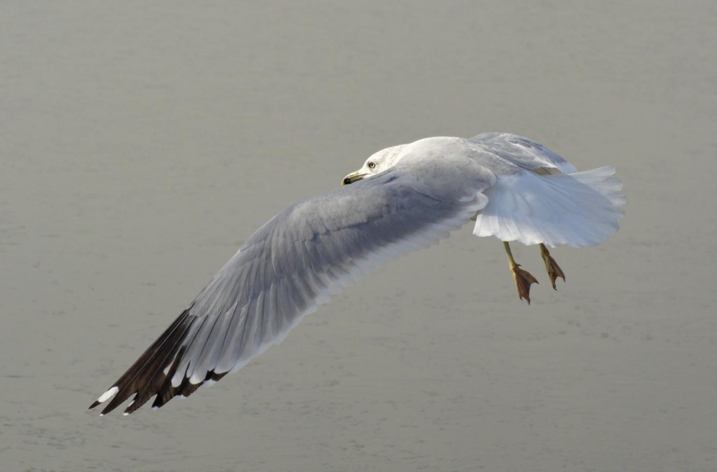 海鸥飞翔_图1-13