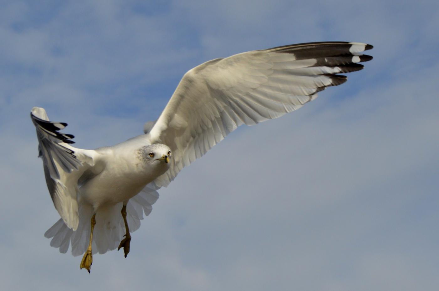 海鸥飞翔_图1-14