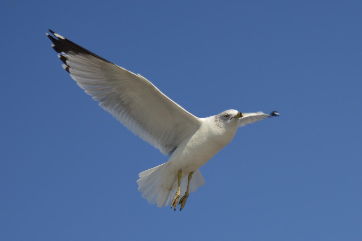 海鸥飞翔_图1-15