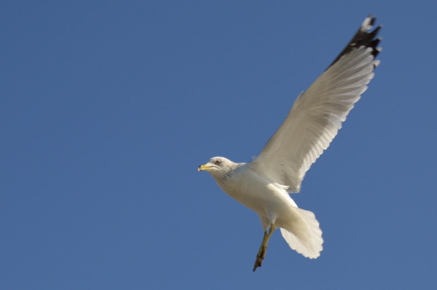 海鸥飞翔_图1-16