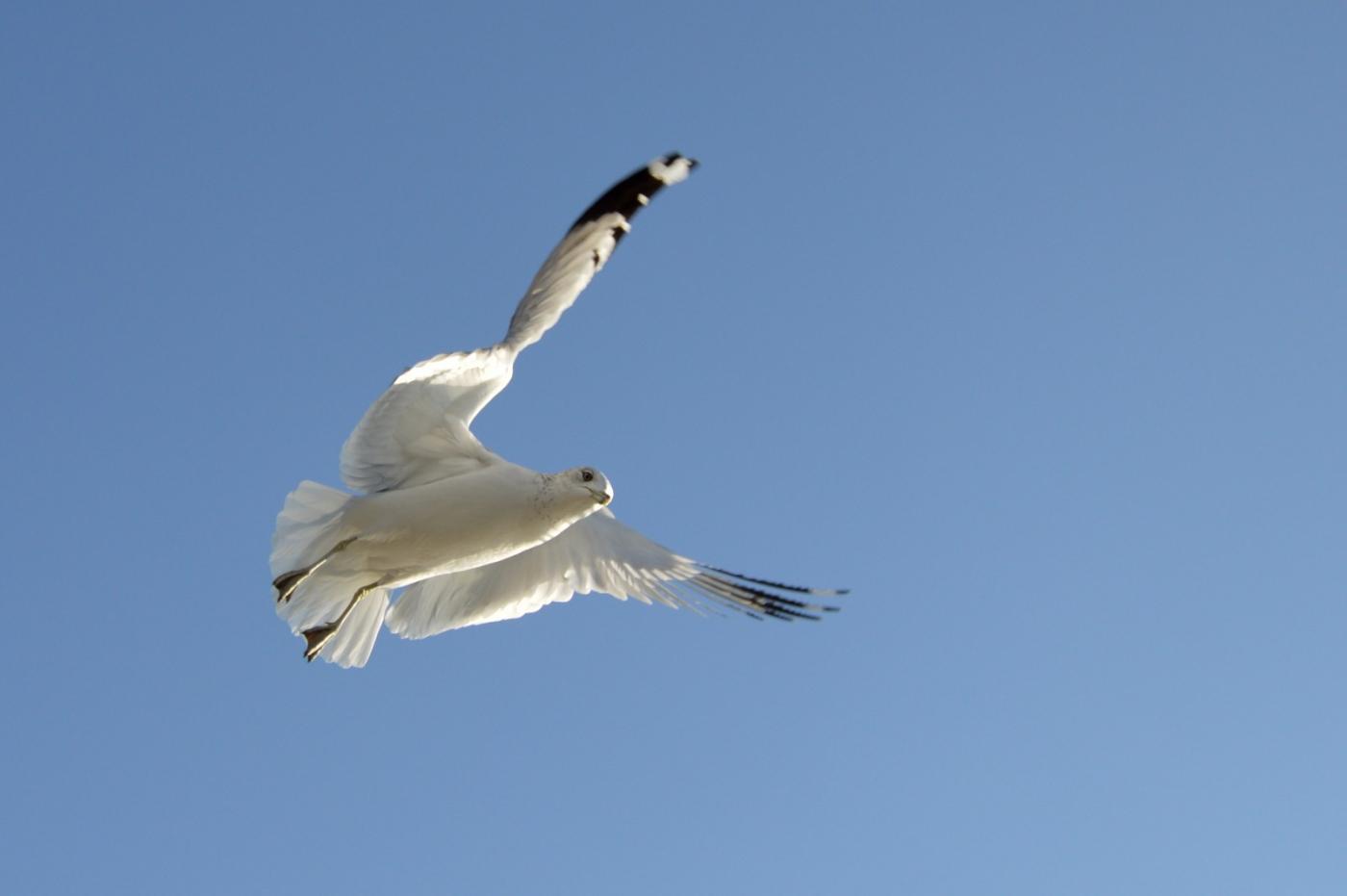 海鸥飞翔_图1-18
