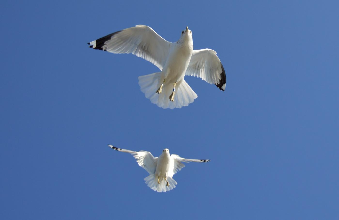 海鸥飞翔_图1-25