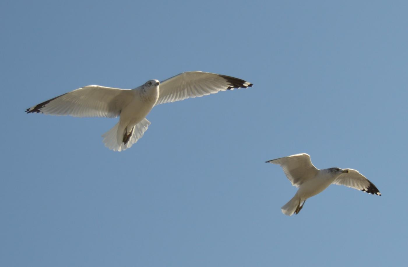 海鸥飞翔_图1-26