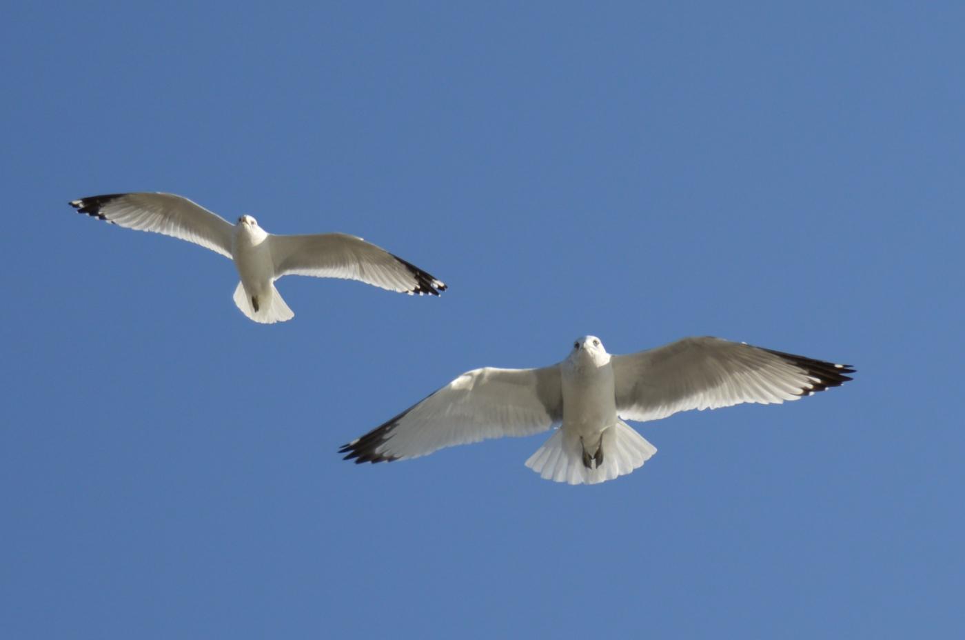 海鸥飞翔_图1-27