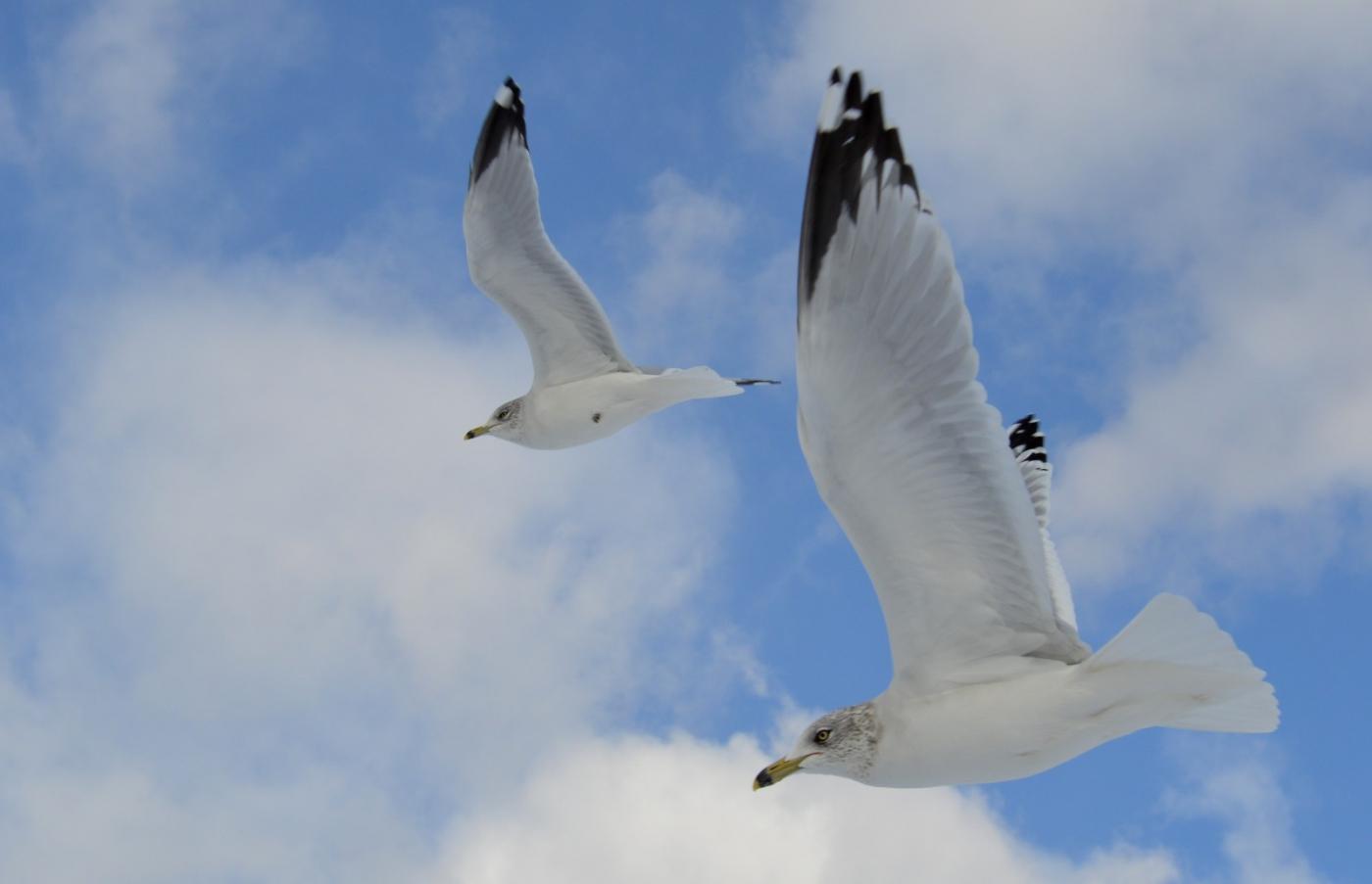 海鸥飞翔_图1-29