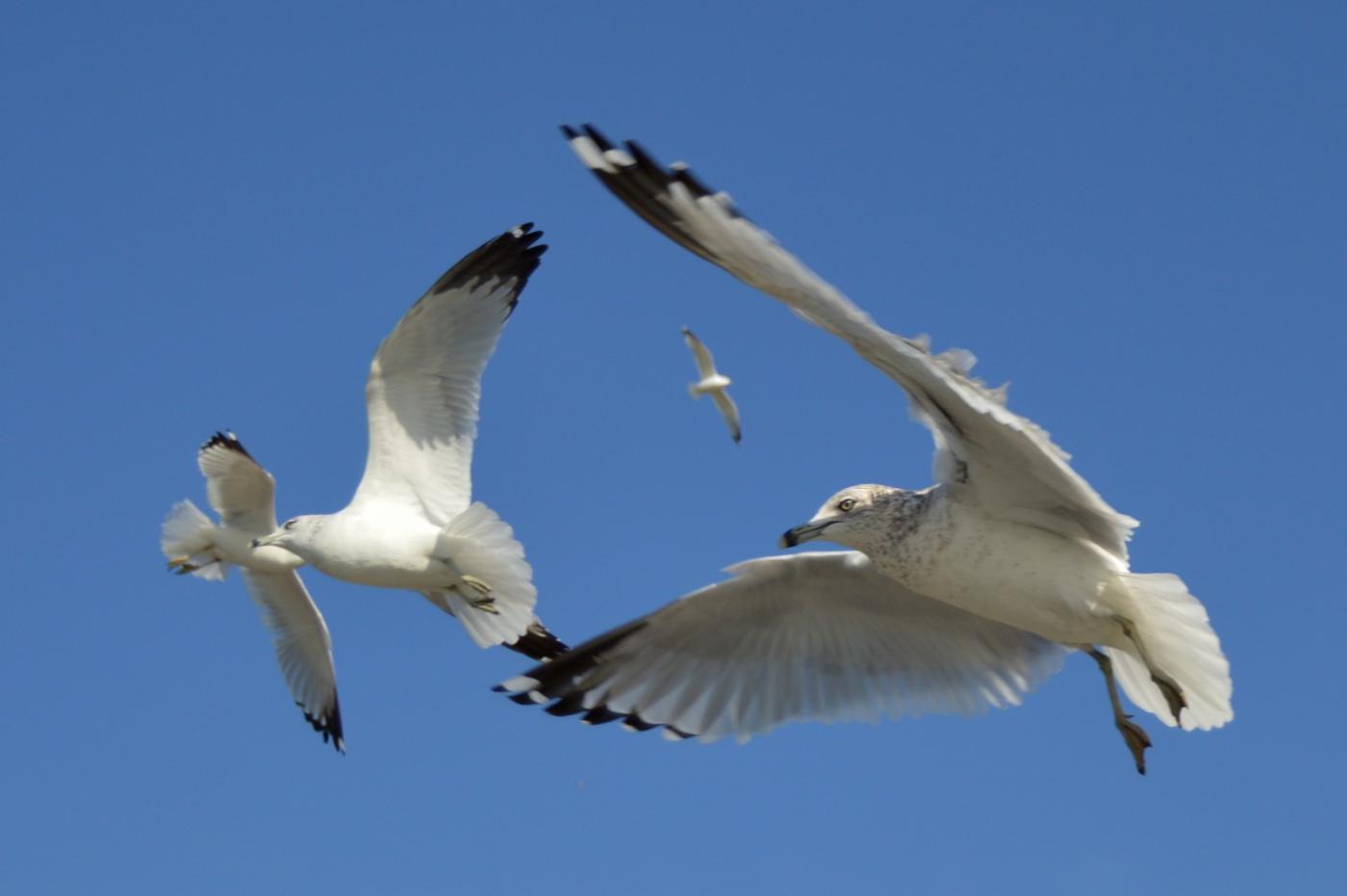海鸥飞翔_图1-30