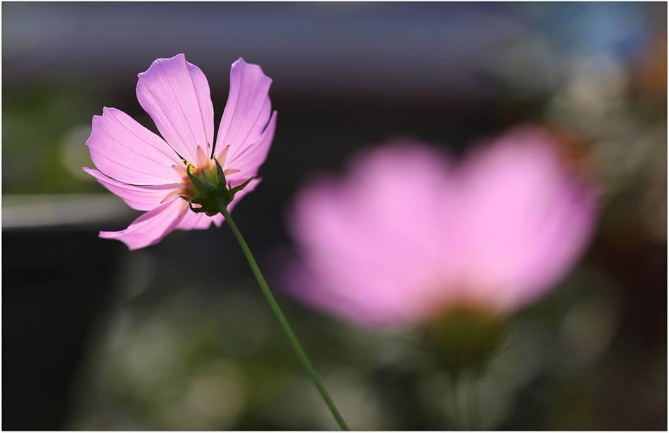 【爱摄影】波斯菊_图1-1