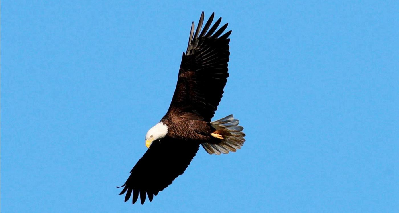 美国国鸟—白头海雕的典型捕鱼连贯动作_图1-1