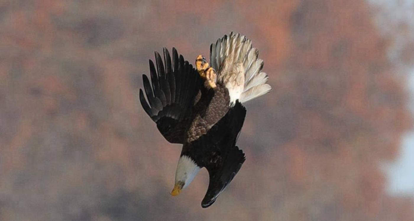 美国国鸟—白头海雕的典型捕鱼连贯动作_图1-2
