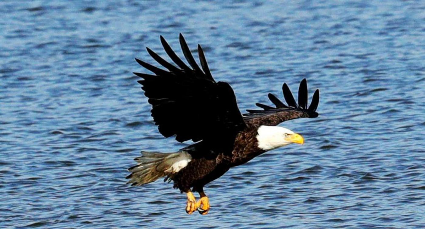 美国国鸟—白头海雕的典型捕鱼连贯动作_图1-3