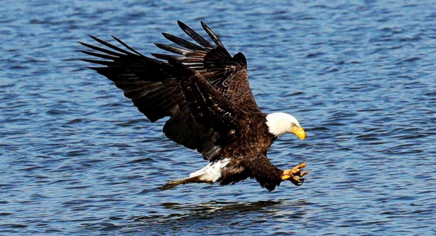 美国国鸟—白头海雕的典型捕鱼连贯动作_图1-4