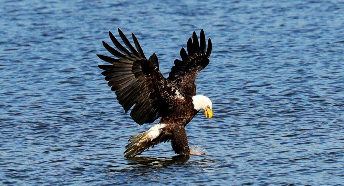 美国国鸟—白头海雕的典型捕鱼连贯动作_图1-5