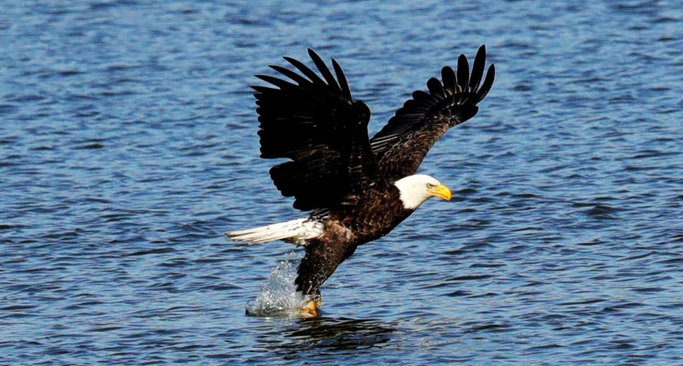 美国国鸟—白头海雕的典型捕鱼连贯动作_图1-6