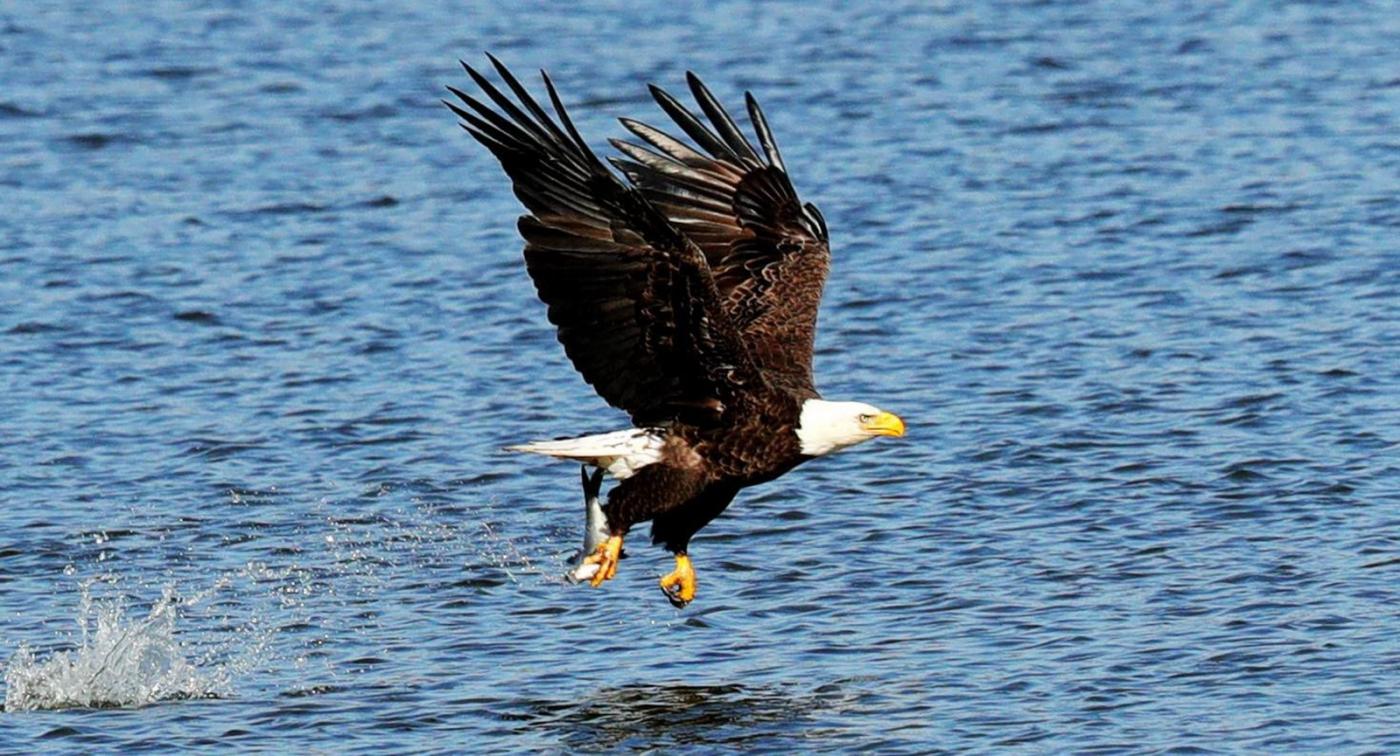 美国国鸟—白头海雕的典型捕鱼连贯动作_图1-7
