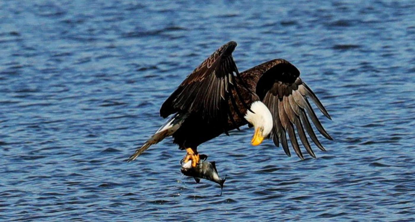 美国国鸟—白头海雕的典型捕鱼连贯动作_图1-8