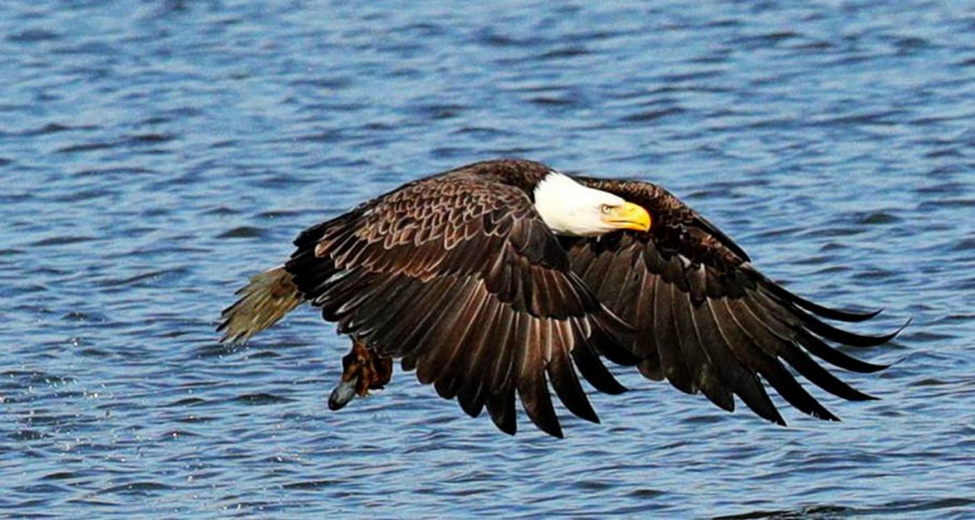 美国国鸟—白头海雕的典型捕鱼连贯动作_图1-9