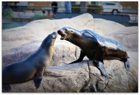 【爱摄影】动物园里的海狮