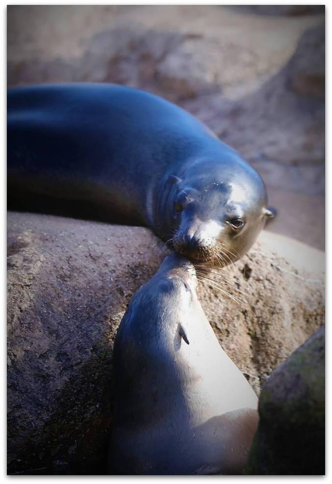 【爱摄影】动物园里的海狮_图1-14