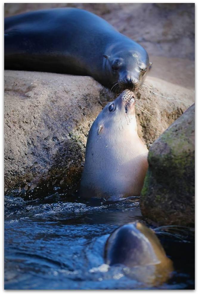 【爱摄影】动物园里的海狮_图1-13
