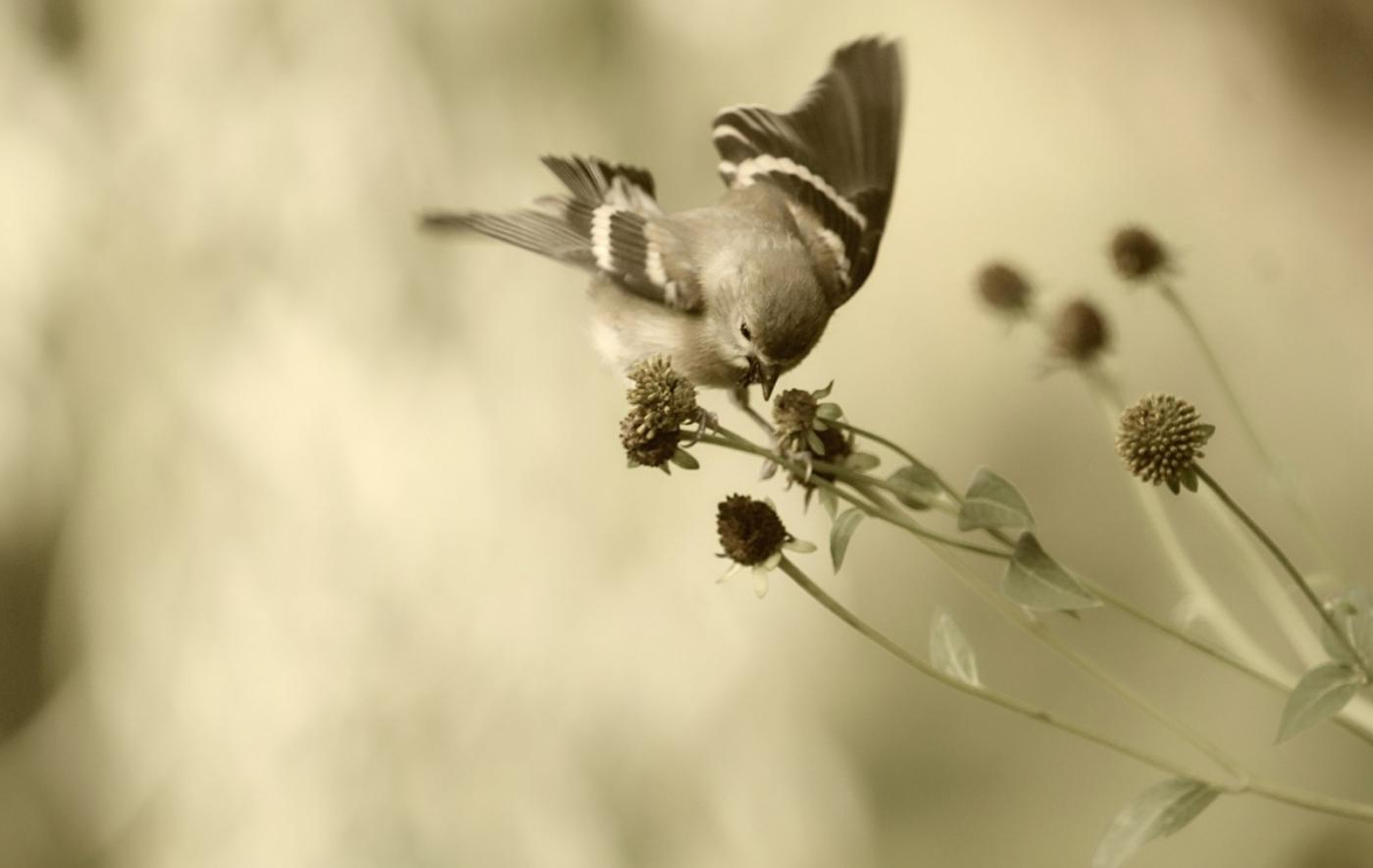 [田螺摄影]金翅鸟_图1-8