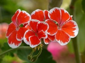 小花天竺葵