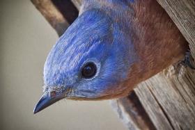 纽约蓝鸲鸟