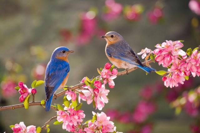 纽约蓝鸲鸟_图1-19