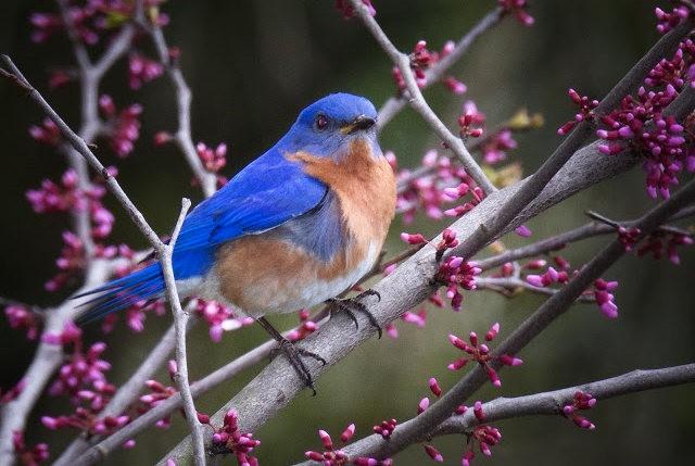 纽约蓝鸲鸟_图1-20