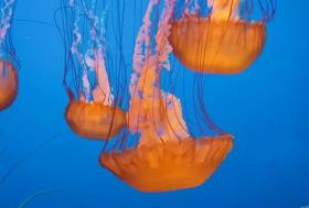 蒙特雷湾水族馆拍水母