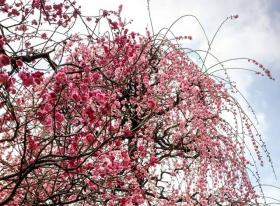寒梅花开在早春,过尽路人君再