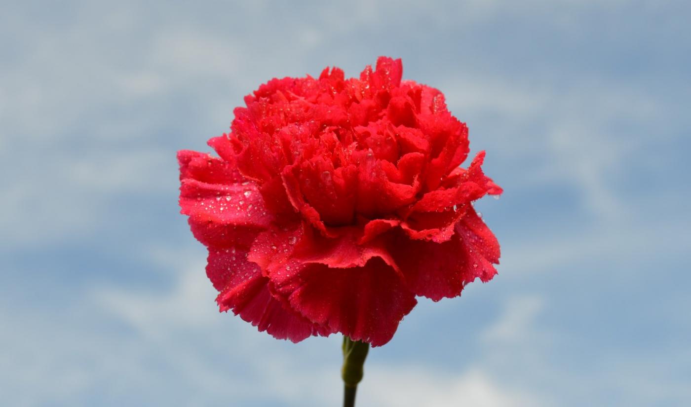 红花朵朵贺新年_图1-17