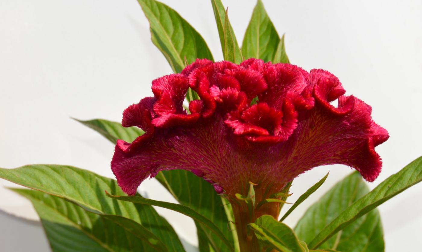 红花朵朵贺新年_图1-21