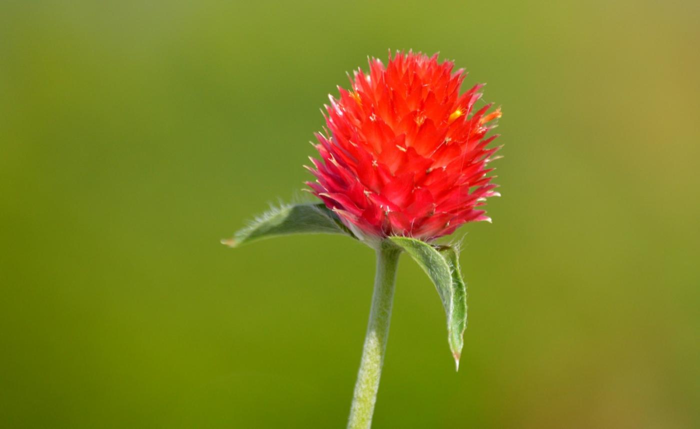 红花朵朵贺新年_图1-32