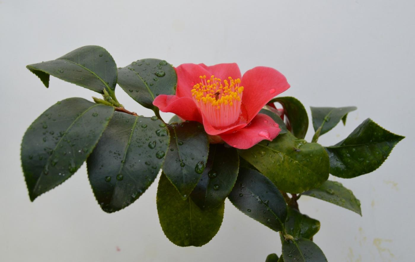 红花朵朵贺新年_图1-35