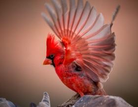 美洲红衣鸟