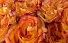娇嫩.柔和的情人节玫瑰