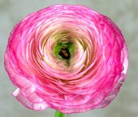 微距下的毛茛花