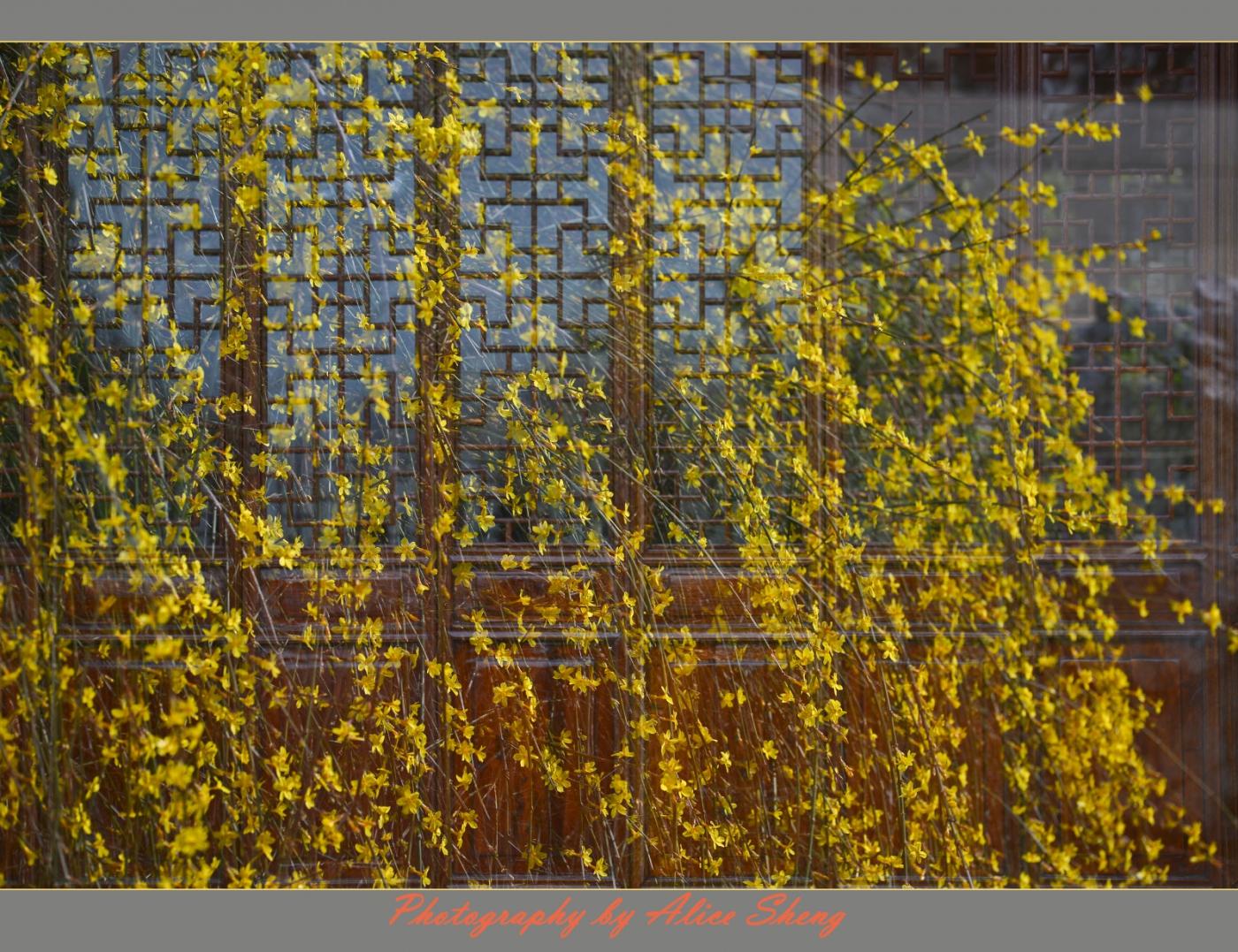 迎春花以盛开,春天快来临了_图1-3