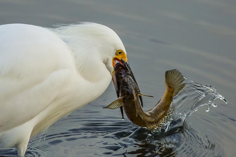 折腾了半天,雪鹭才把鱼吞下去!_图1-11