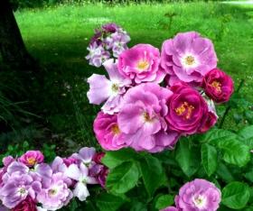 2015716 史岛玫瑰