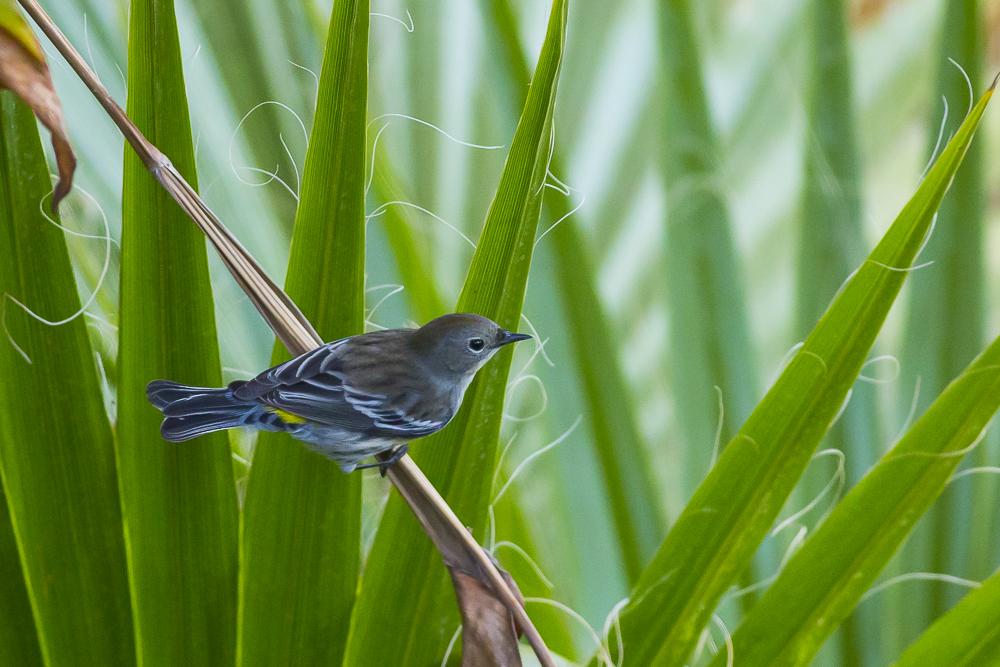 黄腰柳莺  Yellow-rumped warbler_图1-3