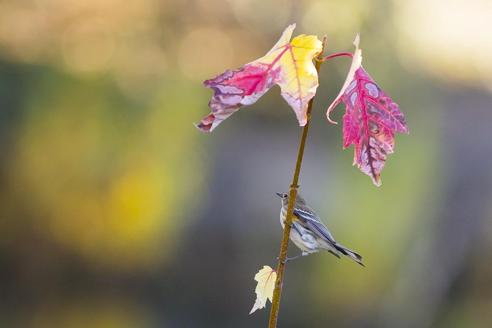 黄腰柳莺  Yellow-rumped warbler_图1-2