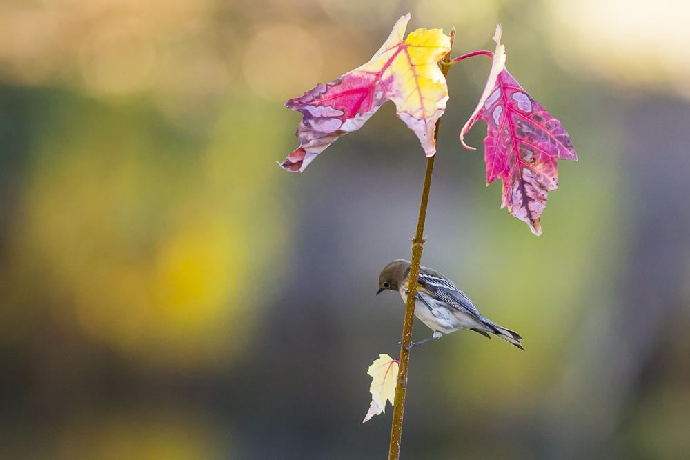 黄腰柳莺  Yellow-rumped warbler_图1-1