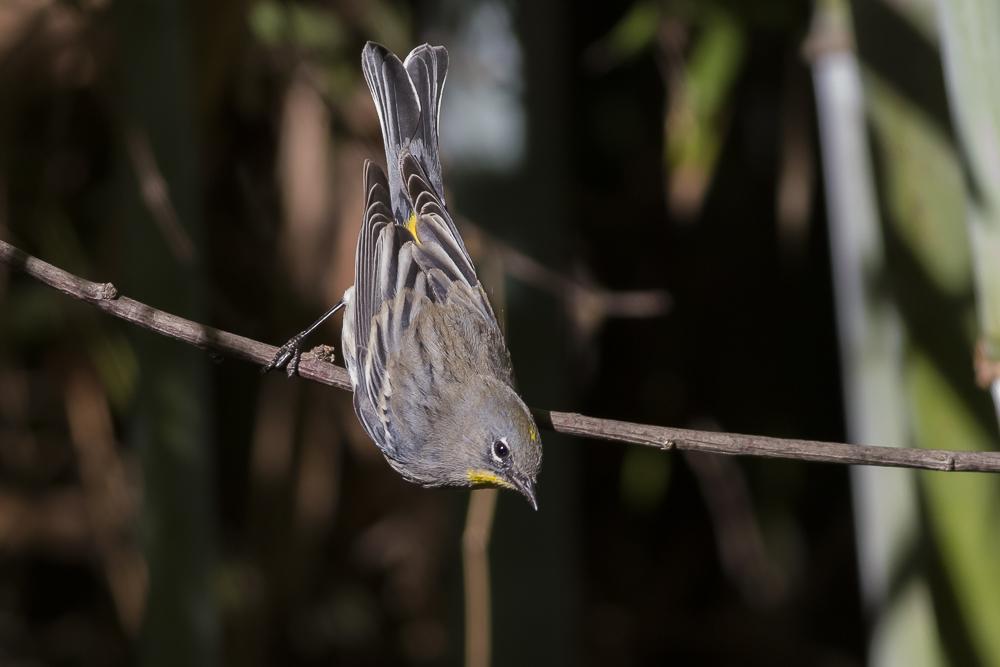 黄腰柳莺  Yellow-rumped warbler_图1-5