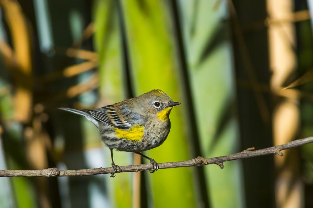 黄腰柳莺  Yellow-rumped warbler_图1-6