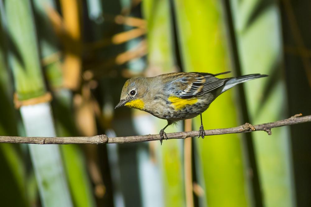黄腰柳莺  Yellow-rumped warbler_图1-7