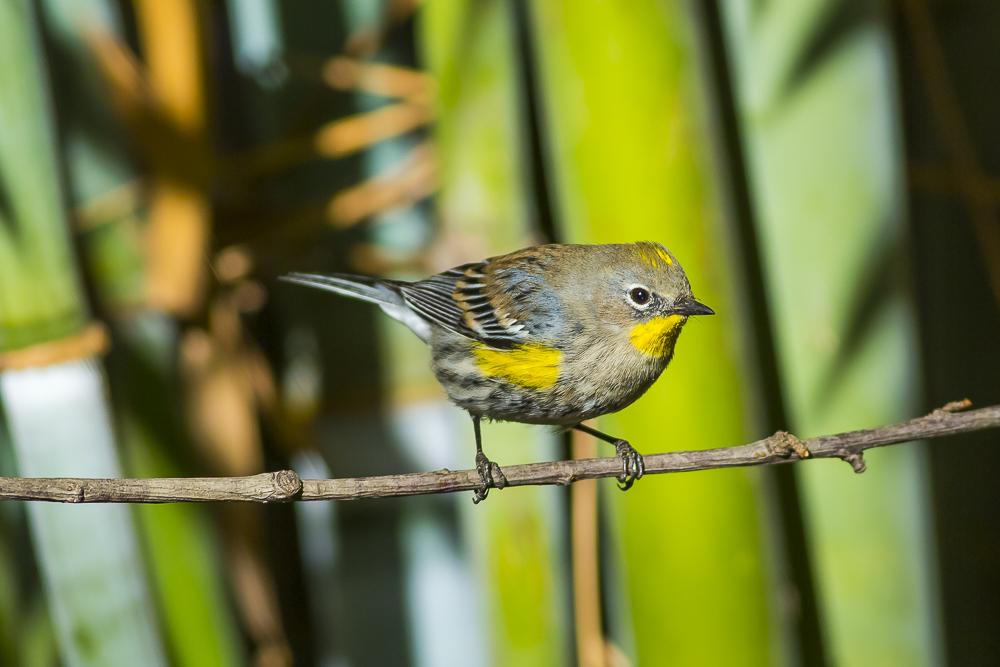 黄腰柳莺  Yellow-rumped warbler_图1-8