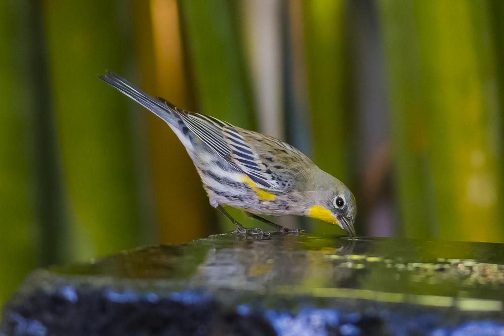 黄腰柳莺  Yellow-rumped warbler_图1-9