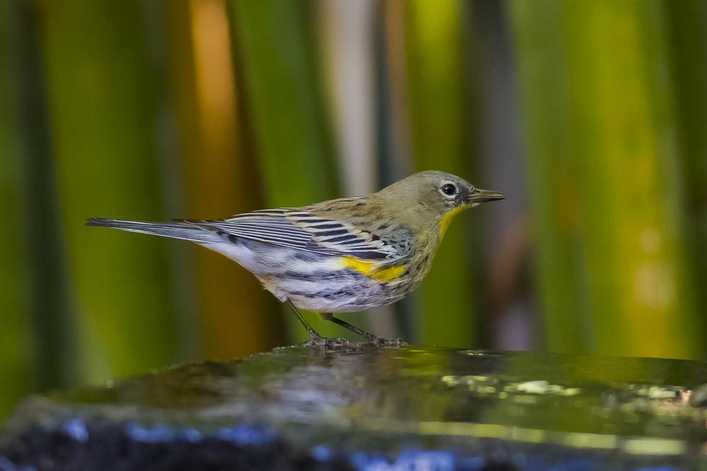 黄腰柳莺  Yellow-rumped warbler_图1-10