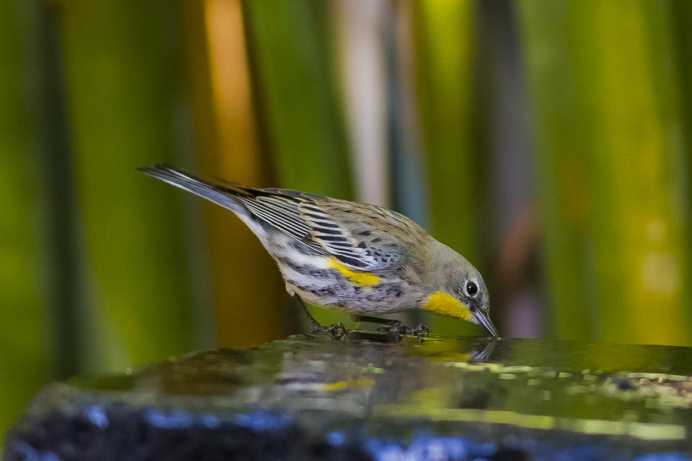 黄腰柳莺  Yellow-rumped warbler_图1-12